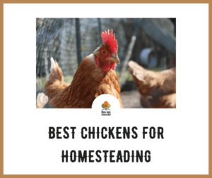 BEST CHICKENS FOR HOMESTEADINGG
